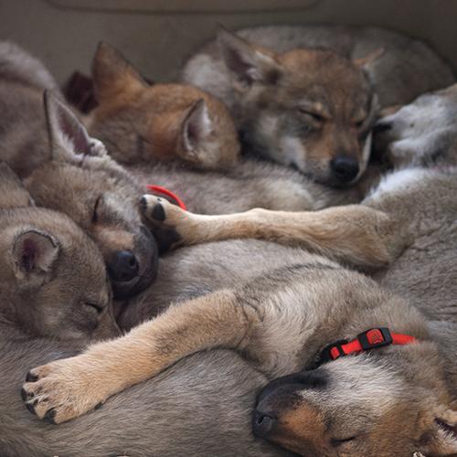 Clc Italiait Database Per Il Cane Da Lupo Cecoslovacco In Italia